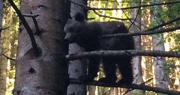 O nouă întâlnire om-urs la Săcele. De data aceasta chiar pe drumul spre 7 Scări. Video în ştire