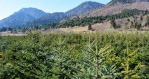 Brad Caucaz, Molid Întepător si Douglas, specii oferite la vanzare de Regia Pădurilor Săcele