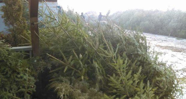 Pomi de Crăciun oferiți la vânzare de Ocolul Silvic Ciucas la Tarlungeni